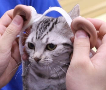 【検証】猫耳とは逆に『人の耳』を猫に付けたら可愛くなるのか!?