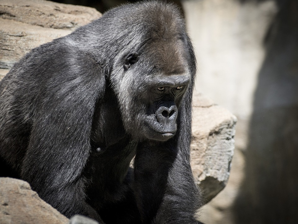 gorila-94892_960_720